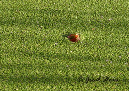 duckweedd01-22-11.jpg