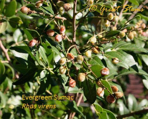 evergreensumac10-31-09.jpg