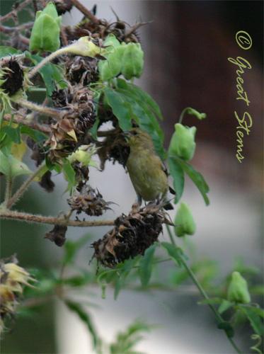 finchonsunflower07-28-10.jpg