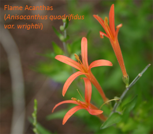 flameacanthus06-15-09.jpg