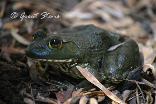 frogb09-11-10.jpg