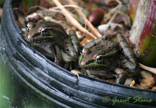 frogs10-10-10.jpg