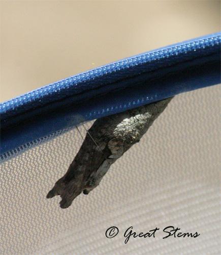 giantchrysalis06-29-10.jpg