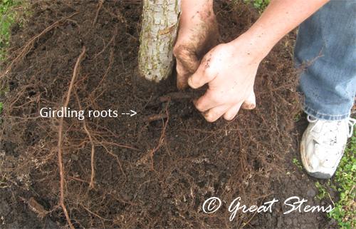 girdlingrootsa02-20-10.jpg