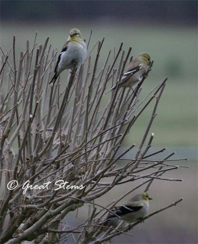 goldfinchesa02-20-11.jpg