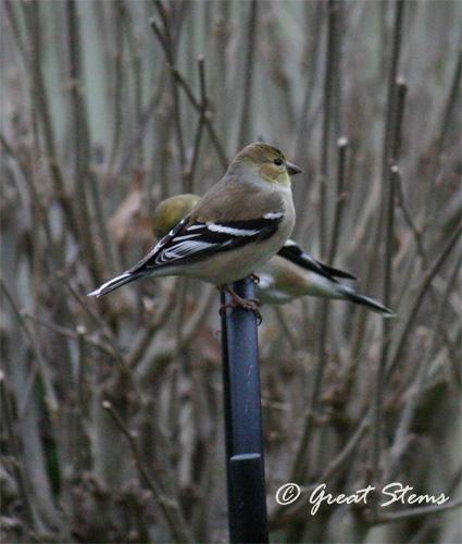 goldfinchesb02-20-11.jpg