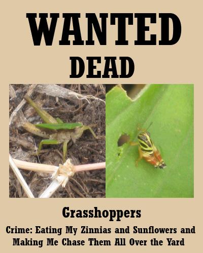 grasshoppers07-29-09.jpg