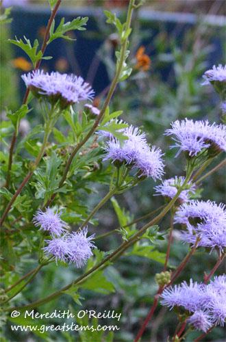greggsmistflower11-10-11.jpg