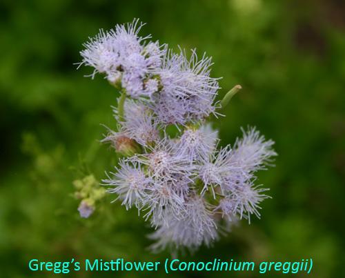 greggsmistflower6-15.jpg