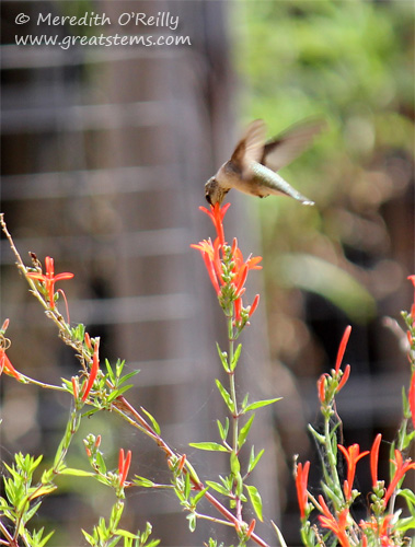 Hummingbird at Flame Acanthus