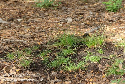 Meadow Sedge