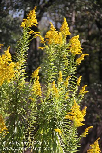 Tall Goldenrod, Solidago altissima