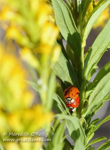 Lady beetles, mating