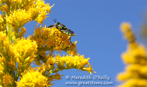 Odontomyia cincta, soldier fly