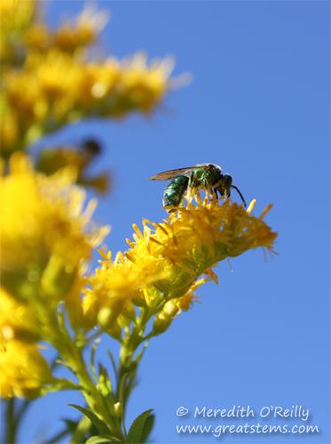 Augochloropsis metallica, Metallic Green Sweat Bee
