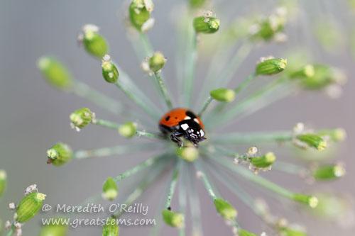 ladybug05-13
