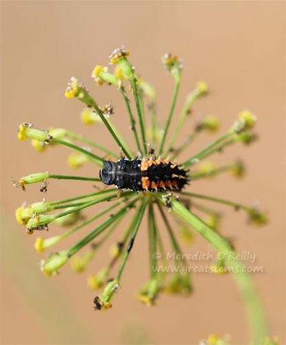 ladybuglarva05-06-13