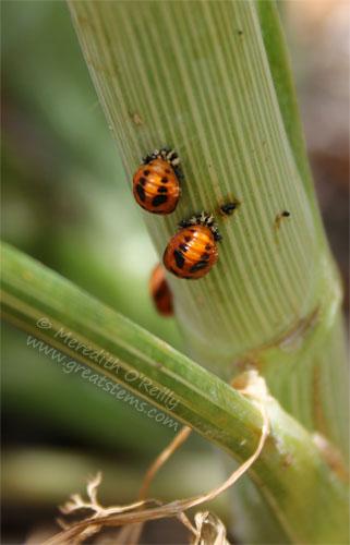 ladybugpupa05-06-13