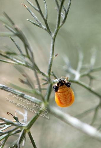 ladybugpupaB05-06-13