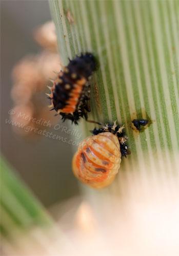 ladybugpupaeC05-06-13