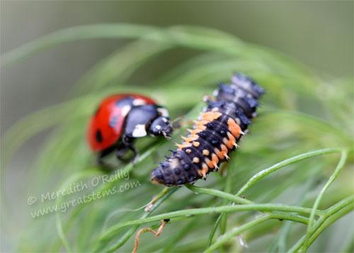ladybugsB05-06-13