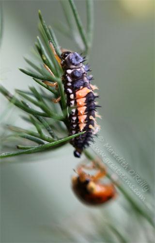 ladybugsC05-06-13