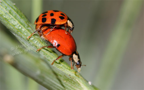 ladybugsmating05-06-13
