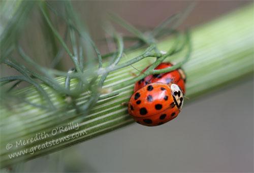 ladybugsmatingC05-06-13