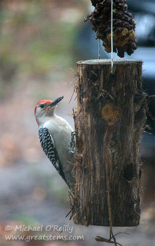 logfeederwoodpeckerB01-09-12