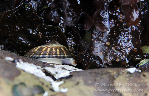 limpet07-13-13