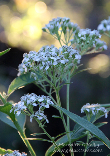 frostweed10-25-13