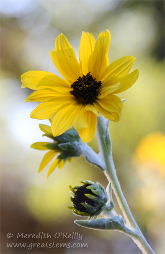 silverleafsunflower10-25-13