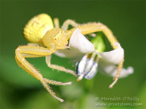 crabspider11-03-13