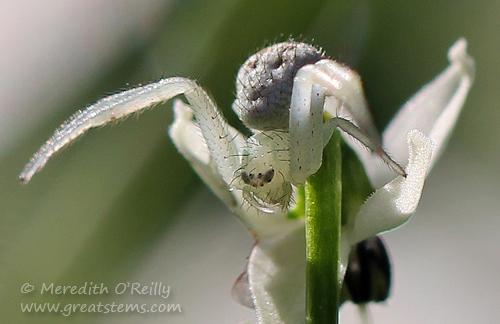 crabspiderg11-03-13