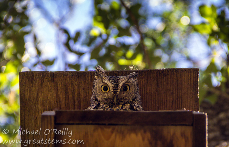 screechowl05-04-14