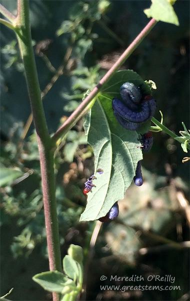 purplesawflylarvae10-23-14