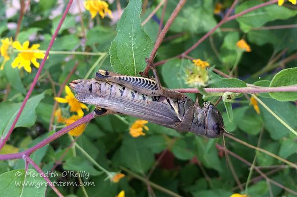 grasshopperatWFC10-24-14