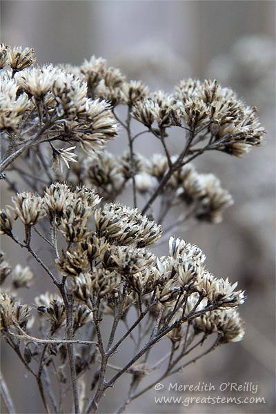 Frostweed (Verbesina virginica L.)