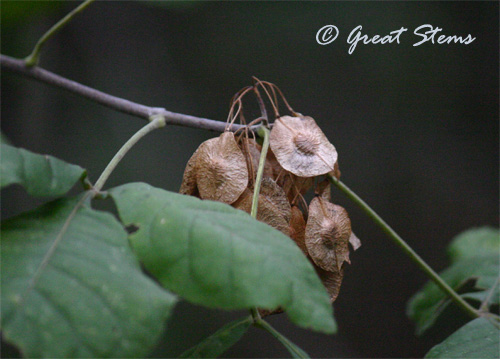 "Wafer Ash (Ptelea trifoliata) seeds have circular ""wings"" to help them flutter to the ground."