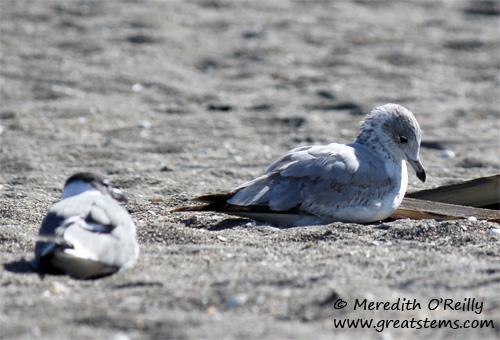 gulls03-12-12.jpg
