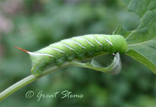 hornworm05-22-10.jpg