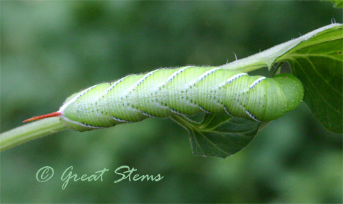 hornwormb05-22-10.jpg