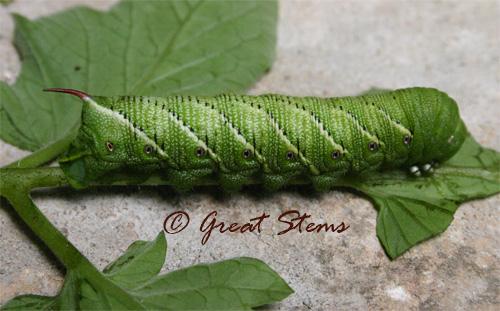 hornwormg05-22-10.jpg