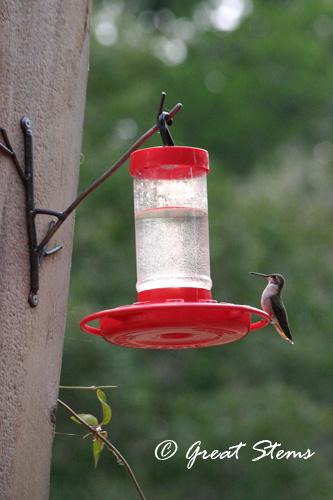 hummingbird05-17-11.jpg