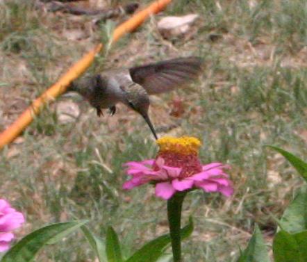 hummingbird06-22-09.jpg