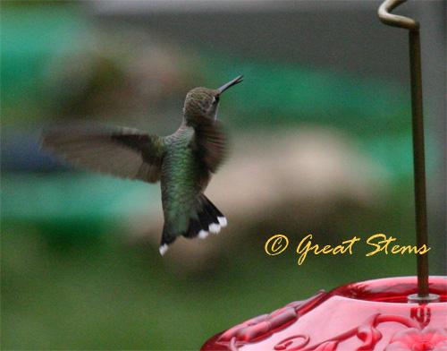 hummingbird06-24-10.jpg