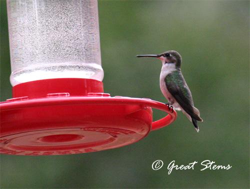 hummingbirdb05-17-11.jpg