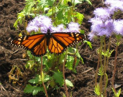 Monarch 10-22-08 a.jpg