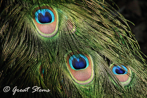 peacock03-11-11.jpg