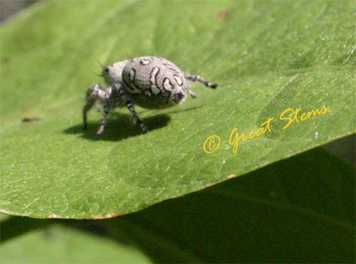 jumpingspider11-13-09.jpg